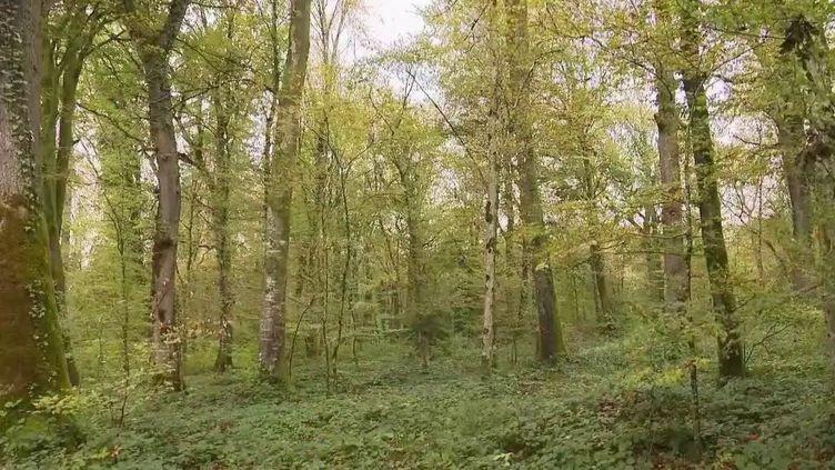 La forêt de Chailluz, à l'entrée de la ville de Besançon (Doubs), va voir quelque 2 000 arbres être abattus, dont des hêtres centenaires. (FRANCE 2)