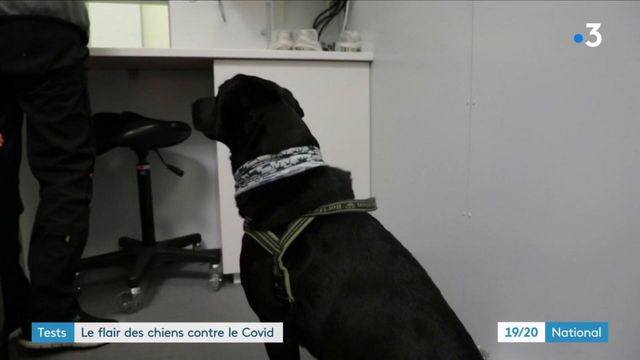 Coronavirus : des chiens pour dépister le virus