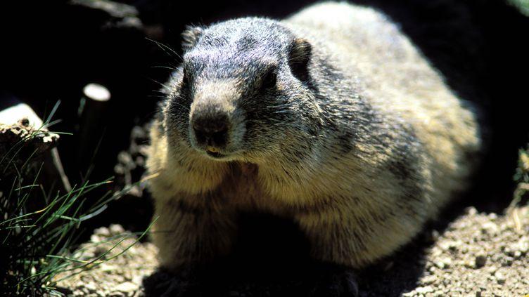 Une marmotte au Sauze-du-Lac (Hautes-Alpes), dans le parc zoologique La montagne aux marmottes. (GUIZIOU FRANCK / HEMIS.FR / AFP)
