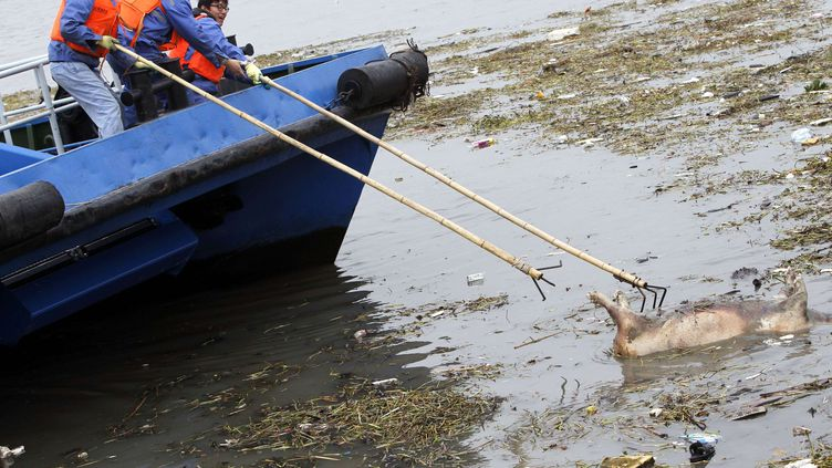Des hommes repêchent un cadavre de cochon dans le fleuve Huangpu, près de Shanghai (Chine), le 12 mars 2013. (QUIRKY CHINA NEWS / REX / SIPA)