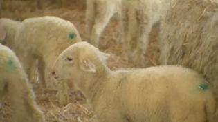 En raison du confinement, il n'y aura pas de grandes tablées familiales pour Pâques. L'agneau pascal connaît en conséquence une chute de sa demande. Les éleveurs ovins ont dû se réorganiser en urgence pour éviter la catastrophe. (FRANCE 2)