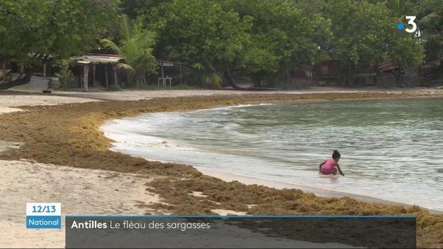 Antilles : les sargasses envahissent les côtes en Martinique et en Guadeloupe