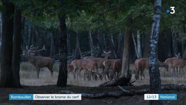Automne : la saison du brame a débuté pour les cerfs de la forêt de Rambouillet