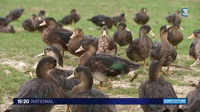 Grippe aviaire : la mesure radicale du ministère de l'Agriculture