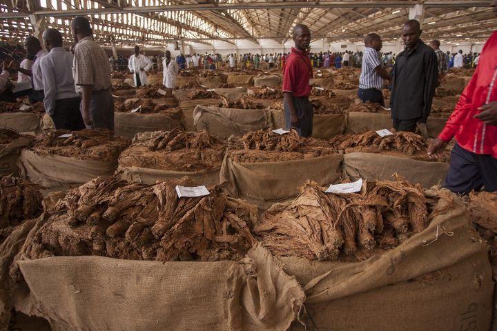 Marché au tabac de Lilongwe, la capitale du Malawi, le 8 avril 2015. En temps normal, acheteurs et vendeurs se font face pour fixer le prix d'un lot. (AMOS GUMULIRA / AFP)