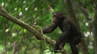 Au cœur de la forêt camerounaise, des soigneurs recueillent, soignent et réintroduisent des chimpanzés, sauvés du braconnage ou de la déforestation. (France 2)