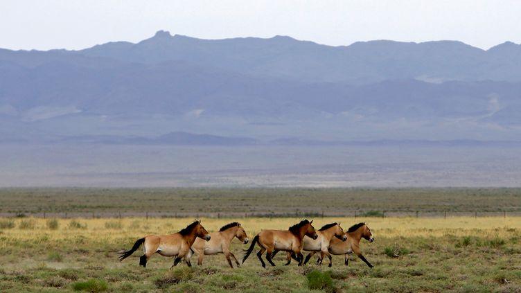 Des chevaux dePrzewalski, le 22 juin 2017 à Bulgan (Mongolie). (DAVID W CERNY / REUTERS)