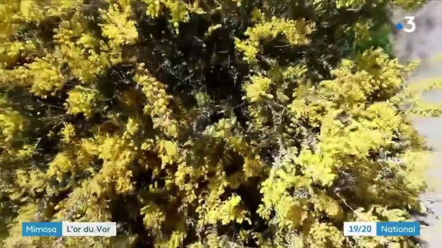 Var : le mimosa, le trésor de la Côte d'Azur