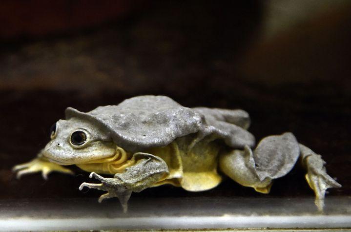 """La """"grenouille scrotum"""" est originaire du lac Titicaca, en Bolivie. Cette grenouille en voie de disparition est la plus grande du continent. (AIZAR RALDES / AFP)"""