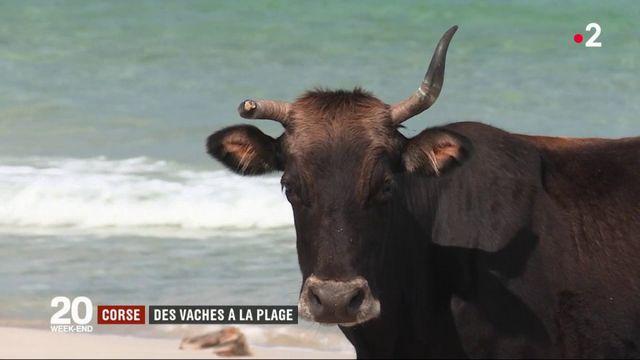 Corse : les vaches sauvages envahissent les plages