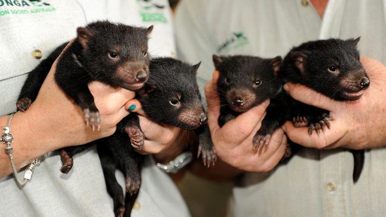 Les gardiens d'un zoo tiennent des bébés diables de Tasmanie, le 22 octobre 2009, à Sydney. (TORSTEN BLACKWOOD / AFP)