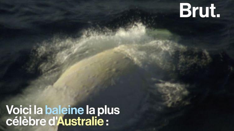 VIDEO. Quand la célèbre baleine d'Australie Migaloo fait des apparitions (BRUT)