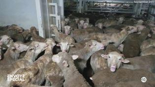 """""""Ils sont littéralement en train de cuire vivants"""" : """"Envoyé spécial"""" enquête sur les conditions de transport parfois scandaleuses des animaux (ENVOYÉ SPÉCIAL  / FRANCE 2)"""