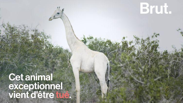 VIDEO. Une girafe blanche et son girafon tués par des braconniers (BRUT)