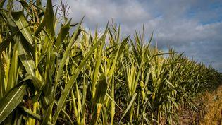 Ces maïs ne font que 40 centimètres de haut, alors qu'à cette époque de l'année, ils devraient atteindre 2 mètres. (JEF.FERNANDEZ / RADIO FRANCE)