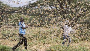 Deux hommes entourés d'un essaim de criquets pèlerins, près du village de Sissia, dans le comté de Samburu au Kenya, le 16 janvier 2020. (PATRICK NGUGI/AP/SIPA / SIPA)