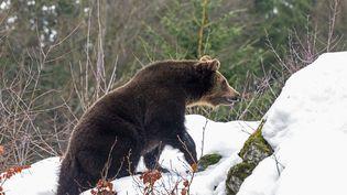 Nicolas Hulot avait annoncé en mars la réintroduction de deux ourses dans les Pyrénées-Atlantiques à l'automne. (FRANCK FOUQUET / MAXPPP)