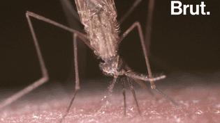VIDEO. Mais pourquoi les moustiques piquent-ils ? (BRUT)