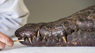 La momie de crocodile en cours de restauration au Louvre Lens  (PHILIPPE HUGUEN / AFP)