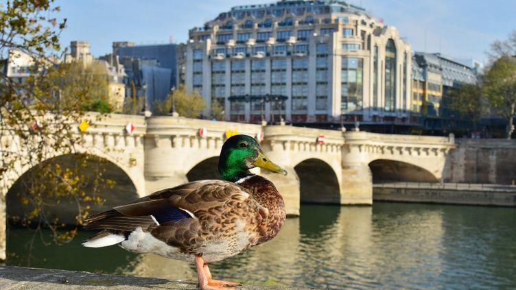 Un colvert profite des mesures de confinement à Paris pour se poser au bord de la Seine, le 10 avril 2020. (ANTOINE LORGNIER / ONLY FRANCE)