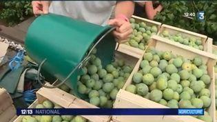 2017, un bon millésime pour la prune (FRANCE 3)