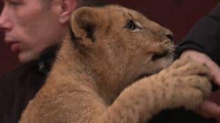 Deux lionceaux ont été retrouvés devant un parc animalier des Bouches-du-Rhône. Ces jeunes félins auraient été achetés illégalement puis abandonnés. (FRANCE 3)