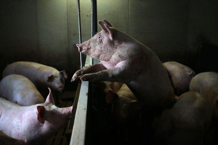 Des porcs dans un élevage de Langoat (Côtes-d'Armor), le 2 mars 2021. (LIONEL LE SAUX / MAXPPP)