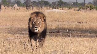 Le lion Cecil filmé dans sa réserve àHwange (Zimbabwe) dans une vidéo postée le 9 juillet 2015 sur YouTube. (BRYAN ORFORD / YOUTUBE)