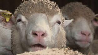 Crise sanitaire: les producteurs de laine ne parviennent plus à vendre (FRANCE 2)