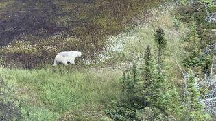 Un ours au Manitoba, au Canada, le 28 juillet 2019. (AFP PHOTO /ROYAL CANADIAN MOUNTED POLICE(RCMP)MANITOBA/HANDOUT)