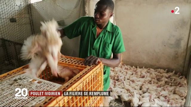 Poulet ivoirien : la filière se remplume