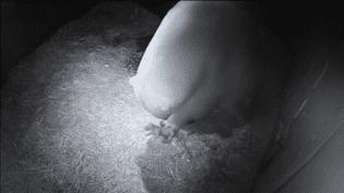 Deux petits ours blancs et leur mère au Sea World en Australie. (SEA WORLD)
