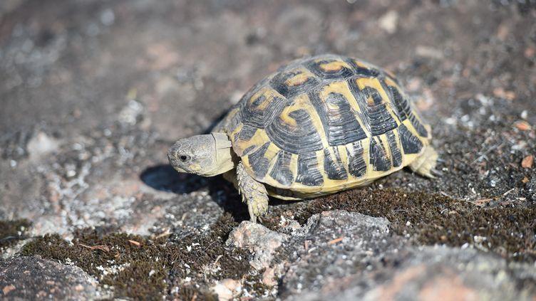 Une tortue d'Hermann rampe sur des rochers moussus, après avoir survécu aux récents incendies de forêt à La Garde-Freinet, dans le Var, dans le sud de la France, le 20 août 2021. (SYLVAIN THOMAS / AFP)