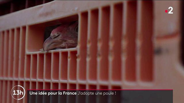 Bien-être animal : adopter une poule pour la sauver de l'abattoir