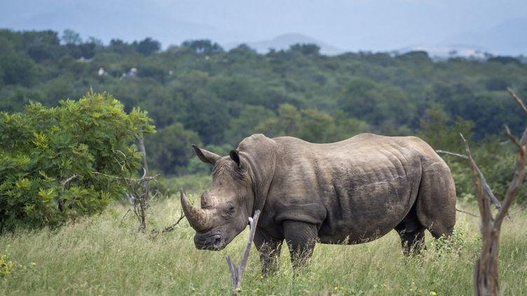 Rhinocéros blanc du Sud dans le parc national Kruger, Afrique du Sud, le 10 septembre 2019. (PATRICE CORREIA / BIOSPHOTO)