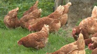 Des poules retraités dans un élevage du Limousin (France 2)
