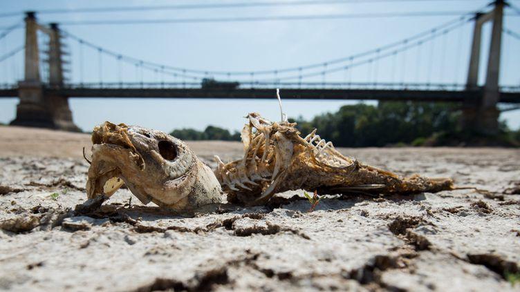 Les restes d'un poisson mort repose sur les rives asséchées de la Loire, à Montjean-sur-Loire, le 24 juillet 2019. (LOIC VENANCE / AFP)