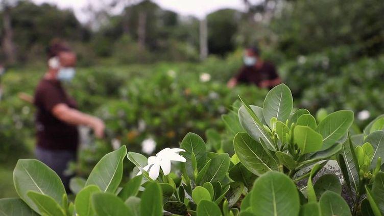 La fleur de Tiaré, l'âme et le symbole de Tahiti, fait la fierté et la prospérité de la Polynésie française. (Capture d'écran / France 3)
