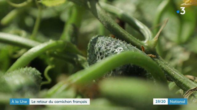 Agriculture : la production de cornichons relocalisée en France
