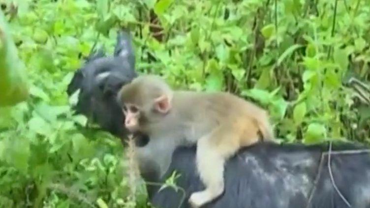 Capture d'écran montrant un petit singesur le dos d'uen chèvre en Chine, le 15 novembre 2016 (CCTV / EVN)