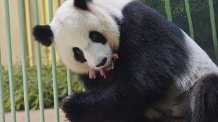 La femelle panda Huan Huan porte ses bébés à l'intérieur de son enclos au zoo de Beauval à Saint-Aignan-sur-Cher, dans le centre de la France, le 1er août 2021. (GUILLAUME SOUVANT / AFP)