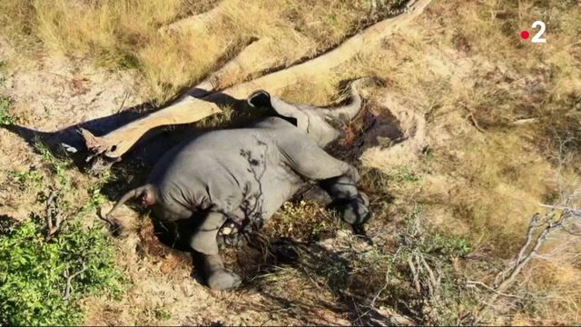 Botswana : disparition inquiétante de plus de 400 éléphants