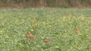 Dans le Rhône, à l'est de Lyon, des oiseaux migrateurs s'installent sur des sites en construction. L'espèce étant protégée, les promoteurs doivent trouver un nouvel espace d'accueil pour les volatiles avant de pouvoir commencer les travaux. (FRANCE 3)
