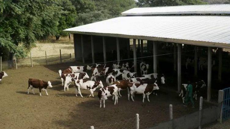 Elevage : le Cameroun mise sur les vaches Montbéliardes pour produire plus de lait (France 2)