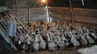 Un élevage de canards à Le Vignau, dans les Landes, le 4 janvier 2017. (MAXPPP)