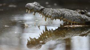 L'organisme du crocodile pourrait aider à lutter contre le choléra. (MARVIN RECINOS / AFP)