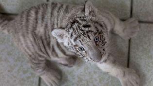 Un bébé tigre blanc du Bengale, ici, le 5 août 2013,né au zoo de Huachipa, à Lima (Pérou). (MARTIN MEJIA / AP / SIPA)