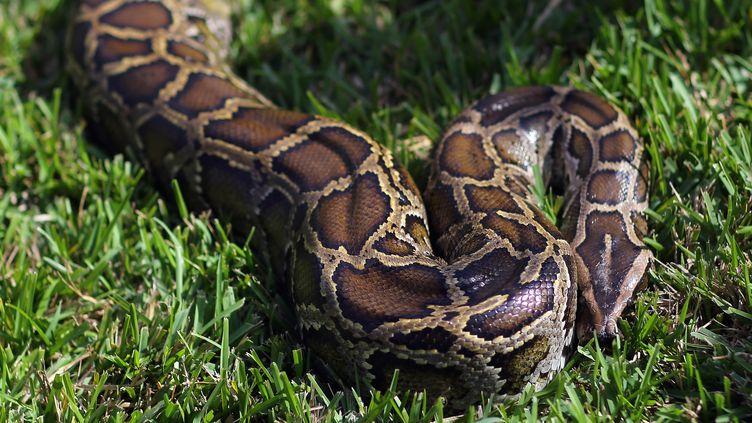 Un python birman, le 12 janvier 2013 en Floride (Etats-Unis). (JOE RAEDLE / GETTY IMAGES NORTH AMERICA / AFP)