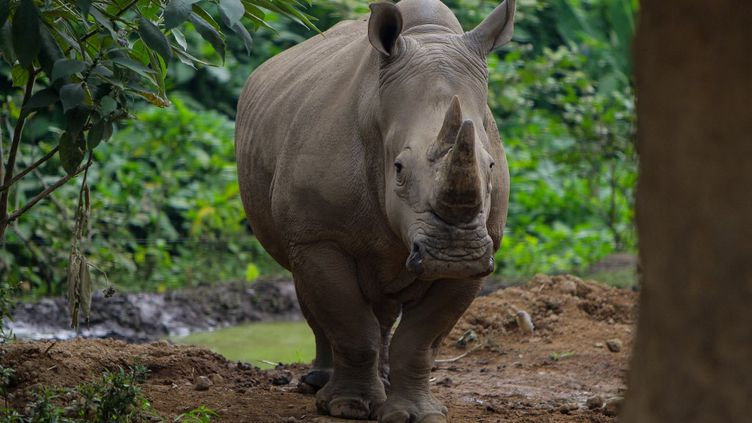 Un rhinocéros blanc au zoo Safari Park à Bogor (Indonésie), le 29 août 2021. (ADRIANA ADIE / NURPHOTO / AFP)
