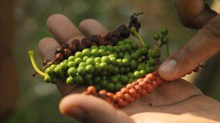 Des grappes de grains de poivre récoltées dans le sud de l'Inde. (FRANCE 2)